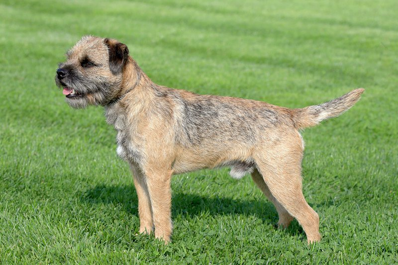 Border Terrier Large Photo