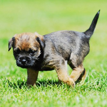 Photo of Border Terrier puppy