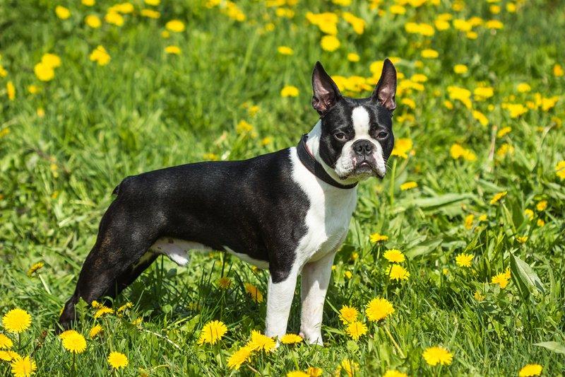 Boston Terrier Breed Information Characteristics Amp Heath