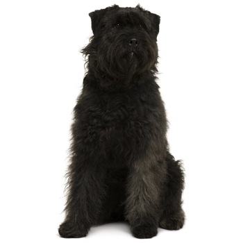 Photo of adult Bouvier des Ardennes