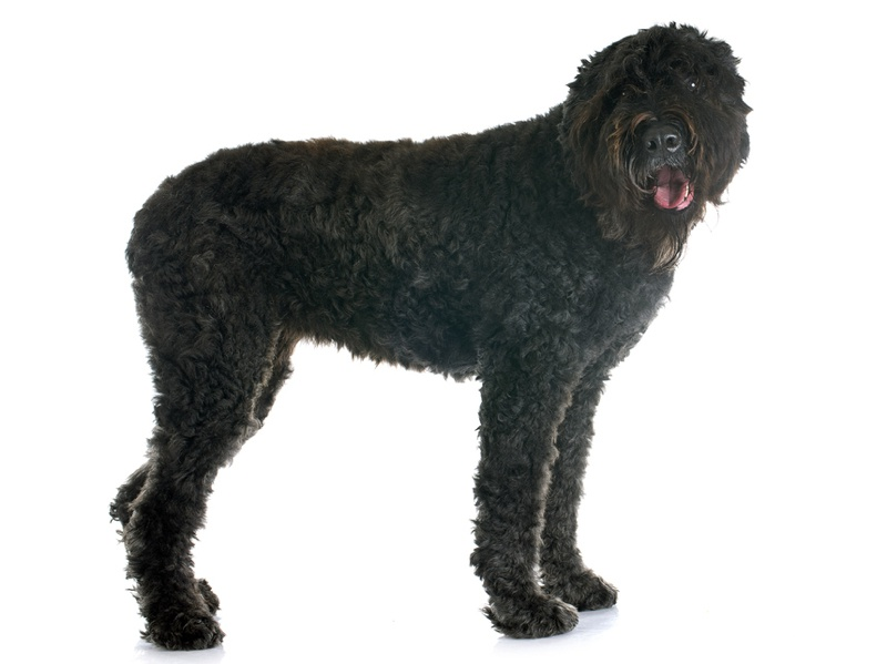 Bouvier des Flandres Large Photo