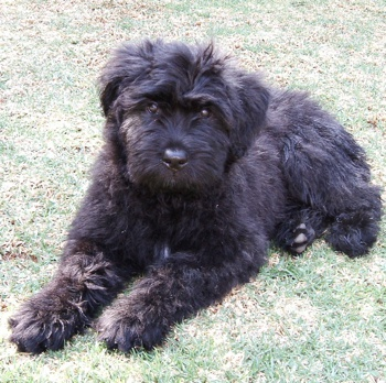 Photo of Bouvier des Flandres puppy
