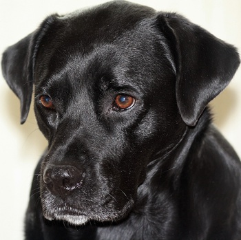 Photo of adult Boxador