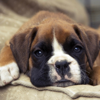 Photo of Boxer puppy