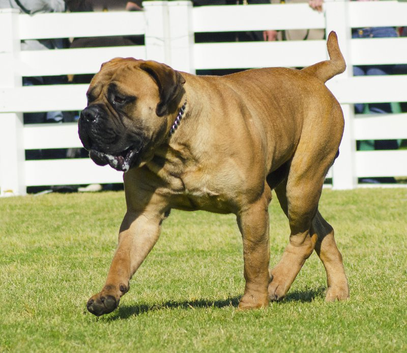 Bullmastiff Large Photo