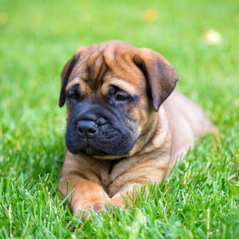 Photo of Bullmastiff puppy