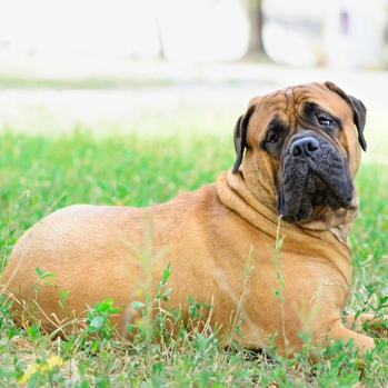 Photo of adult Bullmastiff