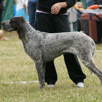 Photo of adult Burgos Pointer