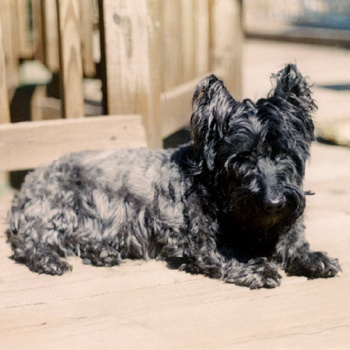 Photo of adult Bushland Terrier