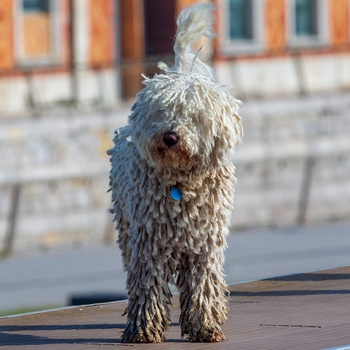 Photo of adult Cantabrian Water Dog