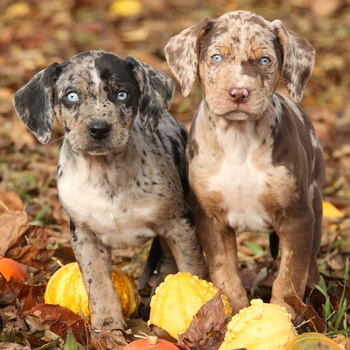 Photo of Catahoula Leopard Dog puppy
