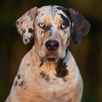 Photo of adult Catahoula Leopard Dog