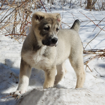 Photo of Central Asian Shepherd puppy