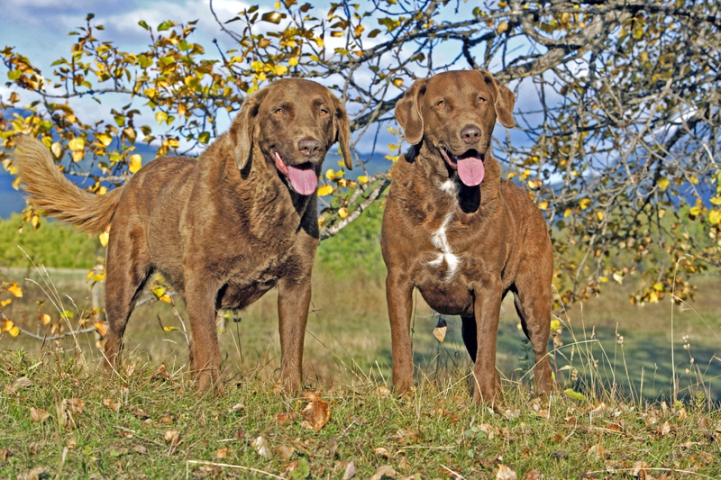 Chesapeake Bay Retriever Large Photo