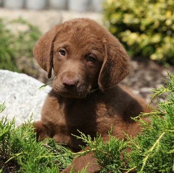 Photo of Chesapeake Bay Retriever puppy