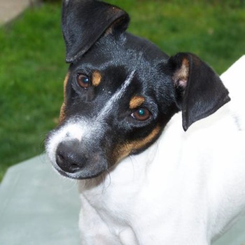 Photo of adult Chilean Terrier