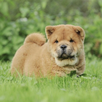 Photo of Chow Chow puppy
