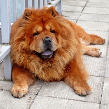 Photo of adult Chow Chow