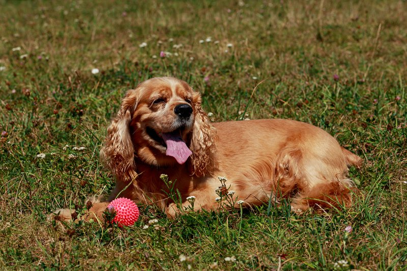 English Cocker Spaniel Large Photo