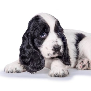 Photo of English Cocker Spaniel puppy