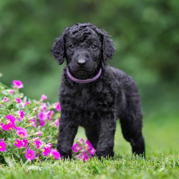 Photo of Curly Coated Retriever puppy