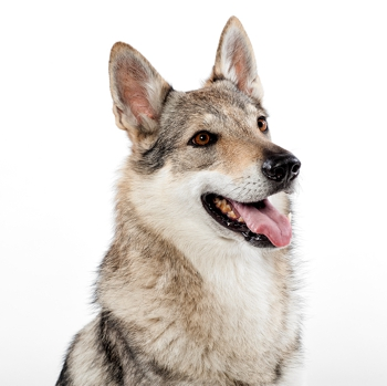 Photo of adult Czechoslovakian Wolfdog