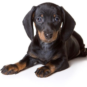 Photo of Dachshund puppy