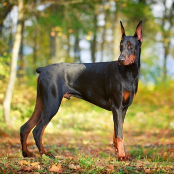 Photo of adult Doberman