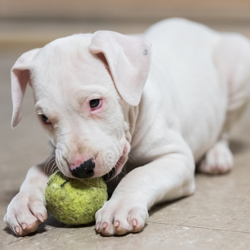 Photo of Dogo Argentino puppy