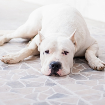 Photo of adult Dogo Argentino