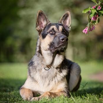 East European Shepherd Breed