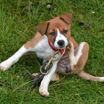 Photo of English Foxhound puppy