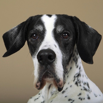 Photo of adult English Pointer