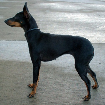 Photo of adult English Toy Terrier