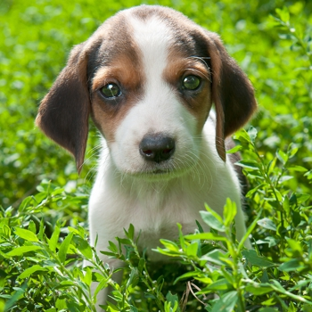 Photo of Estonian Hound puppy