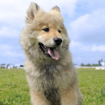 Photo of Eurasier puppy