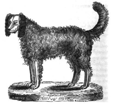 Alpine Spaniel Sketch