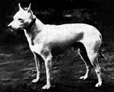 English White Terrier