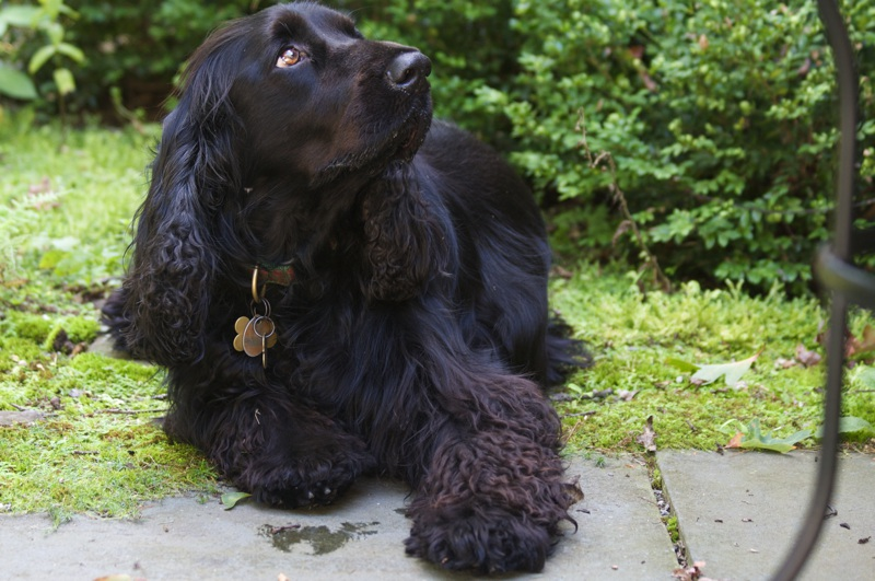 Field Spaniel Large Photo