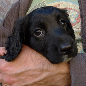 Photo of Field Spaniel puppy