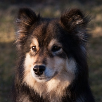 Photo of adult Finnish Lapphund
