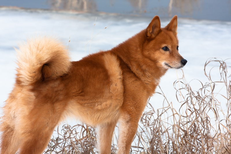Finnish Spitz Large Photo