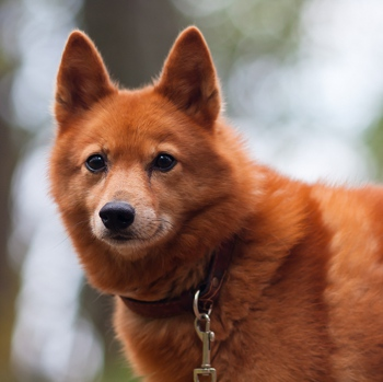 Photo of adult Finnish Spitz