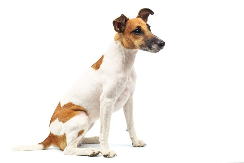Fox Terrier Large Photo