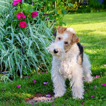Photo of adult Fox Terrier