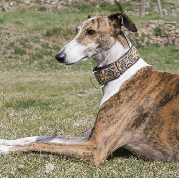 Photo of adult Galgo Español