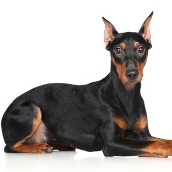 Photo of adult German Pinscher