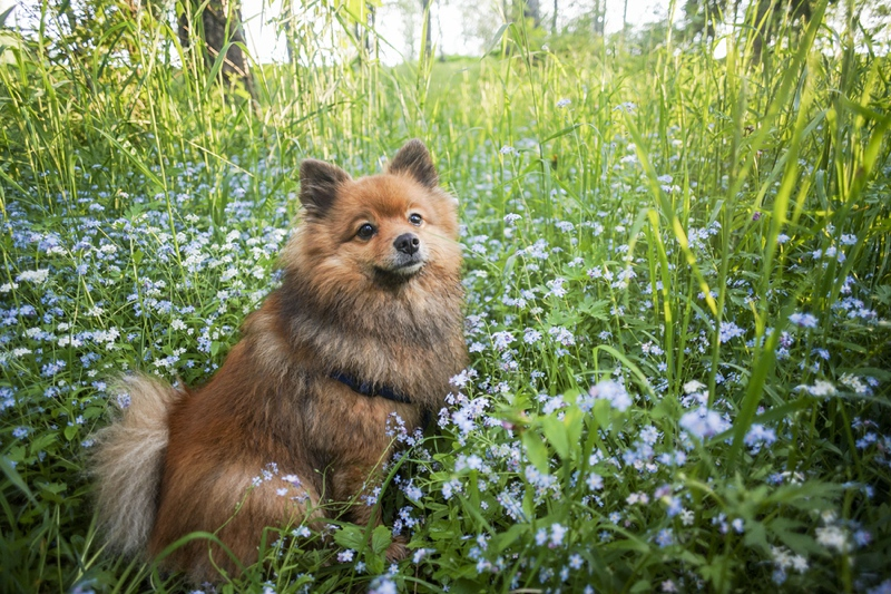German Spitz Large Photo