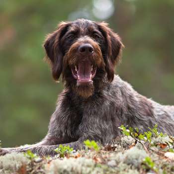 Photo of adult German Wirehaired Pointer