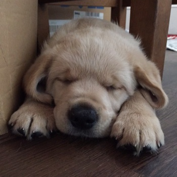 Photo of Goldador puppy